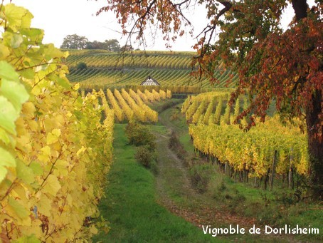 Le vignoble de Dorlisheim en automne - Photo G.GUYOT