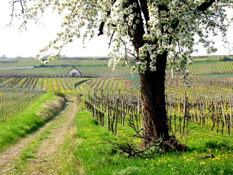 Vignoble de Dorlisheim au printemps - Photo Gite en Alsace